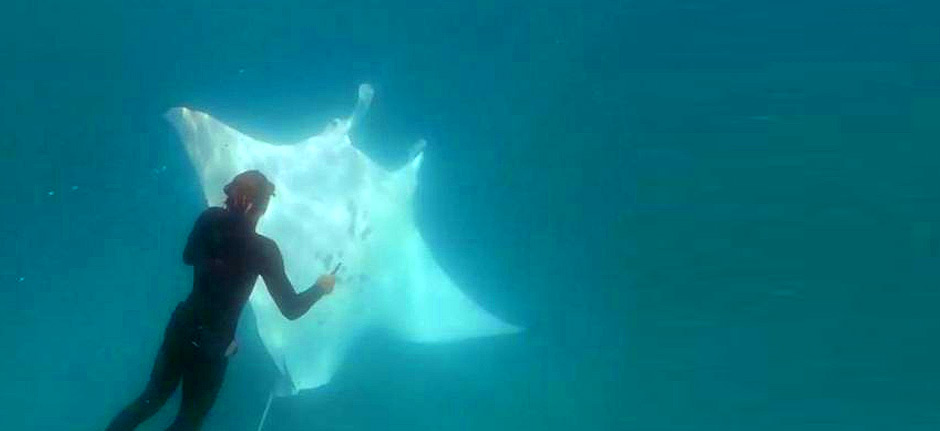 Manta ray seeks help from divers