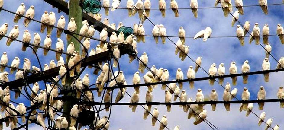 Attack of the corella 'super flocks'