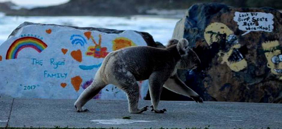 Koala takes morning stroll in Port Macquarie