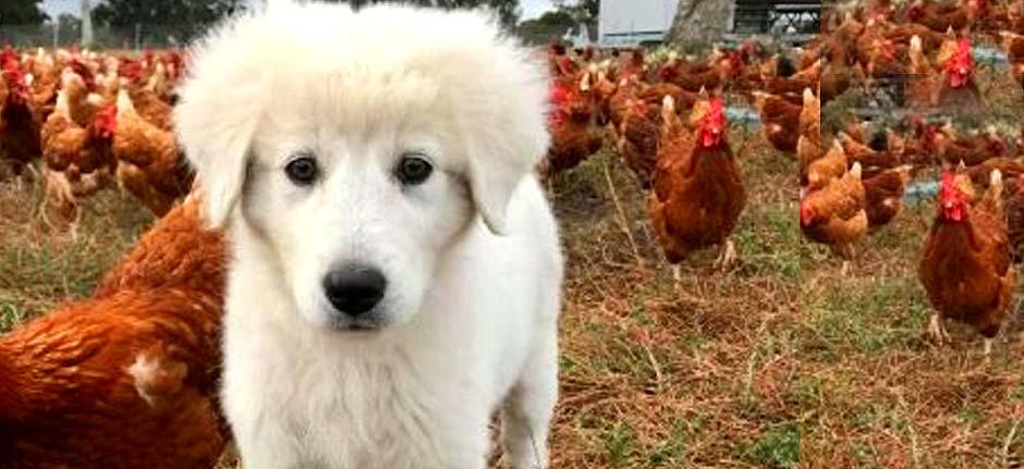 Maremma sheepdogs poisoned by 1080 bait
