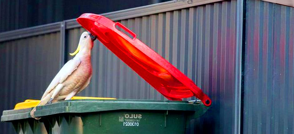 Bin Raiders: cockatoos behavioural adaptation on show