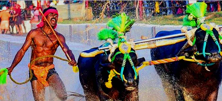 Indian Kambala buffalo racer faster than Usain Bolt